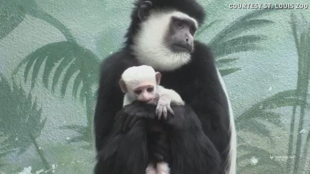 Meet Ziggy the monkey