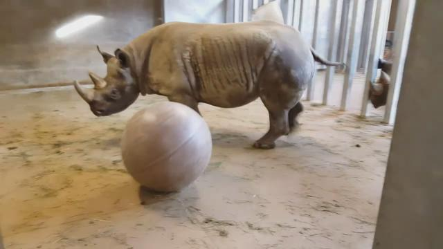 Rhino and a ball