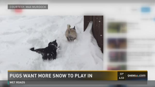 Pugs want more snow to play in