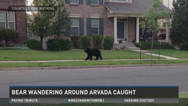 Arvada bear captured