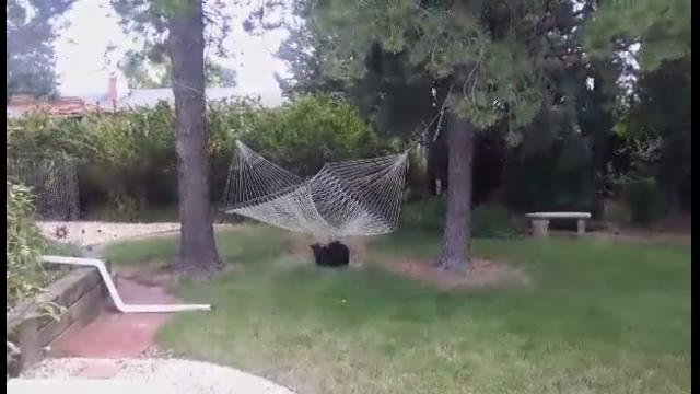 watch  bear cub plays in colorado hammock  rh   usatoday
